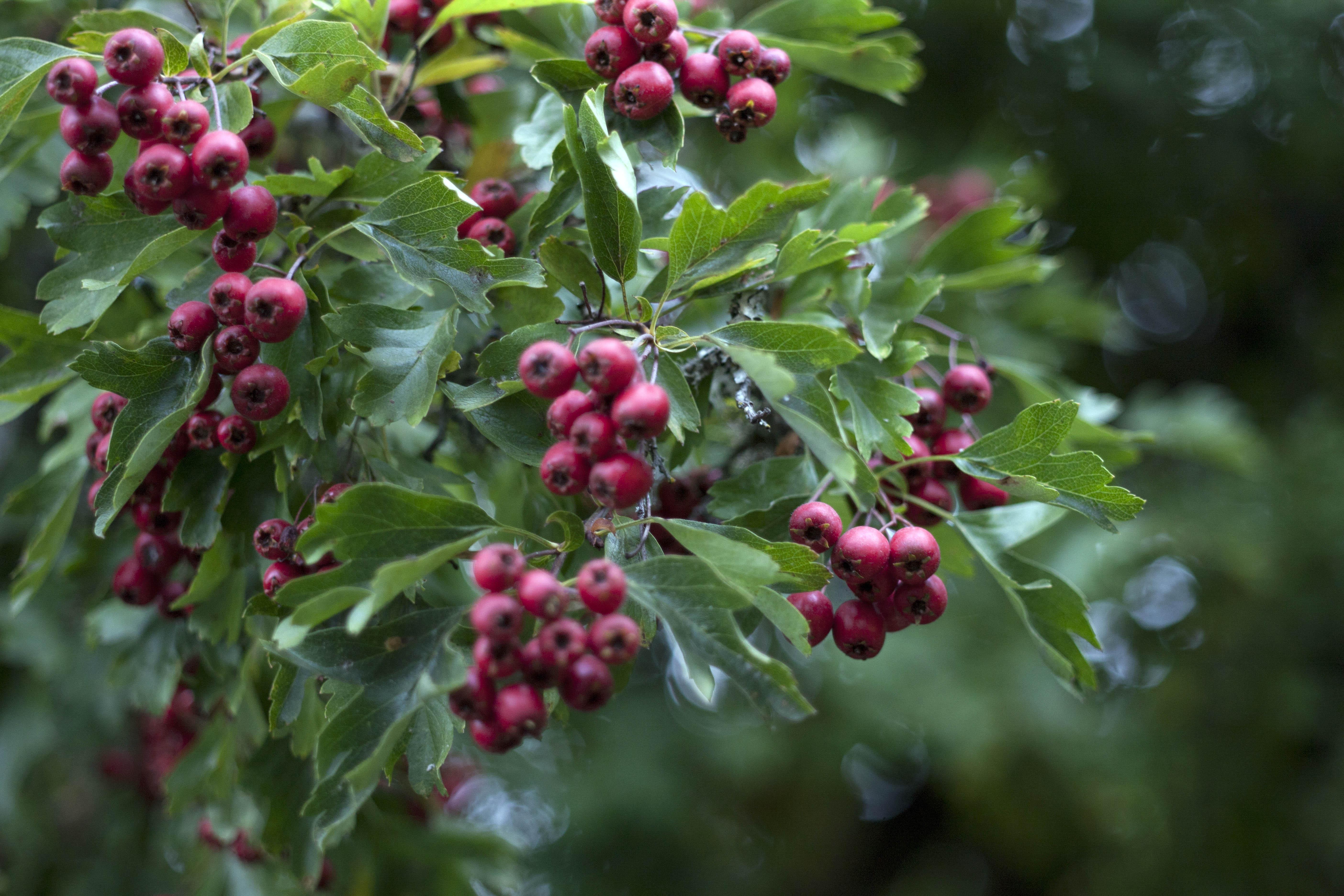 tree berry sm.jpg